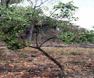 Maytenus senegalensis