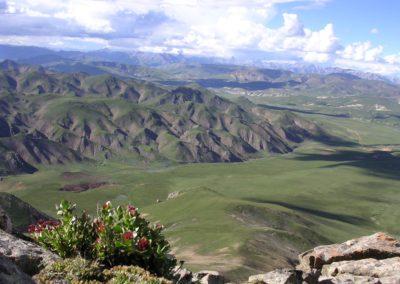 Rhodiola sur le plateau du Kham