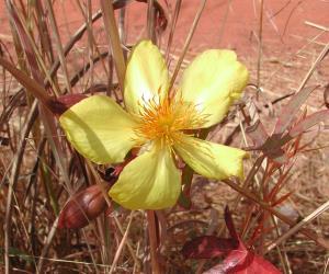 Cochlospermum tinctorium