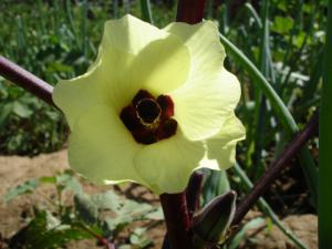 Abelmoschus esculentus fleurs 2 (1)