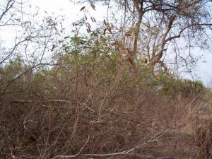 Acacia ataxacantha 1