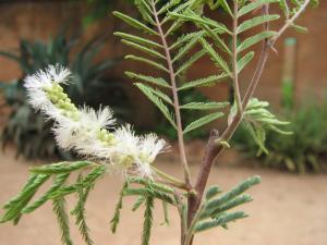 Acacia dudgeoni Mogueya 14-07-16
