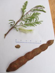 Acacia dudgeoni Mogueya 14-07-16 06