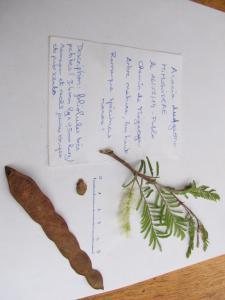 Acacia dudgeoni Mogueya 14-07-16 07