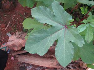 Abelmoschus esculentus_feuille palmée