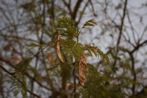 Acacia ataxacantha(!)